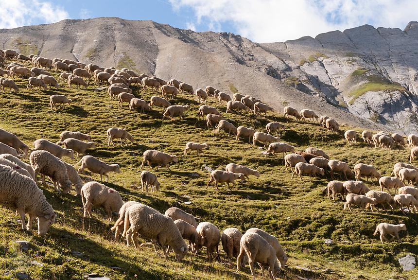 Sheep in alpine pasture near the Col du Bonhomme, Mont Blanc, September 2007.