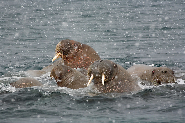 Group of walrus swimming during a snow flurry. Svalbard. Norway