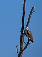 An osprey perches near Yellowstone Lake.