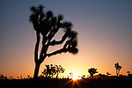 Joshua Trees at sunrise