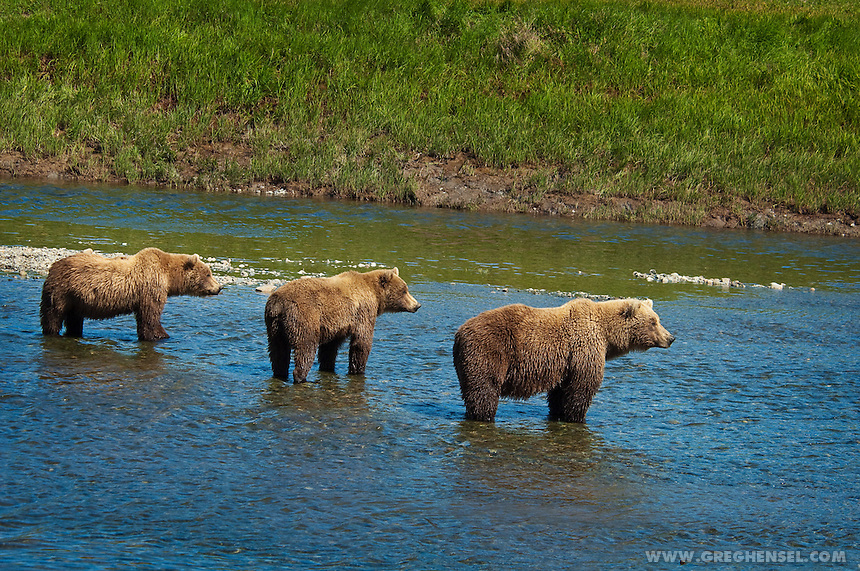 Brown Bears Fishing at Mikfik Creek. Summer at McNeil River Bear Sanctuary in Southwest Alaska.
