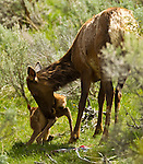 This cow elk has found a secluded location away from the herd to give birth to her calf.  The calf was born only minutes before the photo was taken in Yellowstone National Park, June 3, 2011. Photo by Gus Curtis.