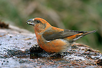 Scottish Crossbill Loxia scotica L 15-17cm. Very similar to Common Crossbill and extreme caution is needed with identification. Scottish has more robust and stout bill than Common, suited to extracting seeds from Scots Pine cones. Sexes are dissimilar. Adult male is mainly red with brownish wings. Adult female is mainly greenish with brownish wings. Immature birds are similar to adults of respective sexes but duller. Juvenile is grey-brown and streaked. Voice Utters a sharp kip-kip-kip flight call, deeper than that of Common. Status Found nowhere else in world other than native Scots Pine forests in Scotland.