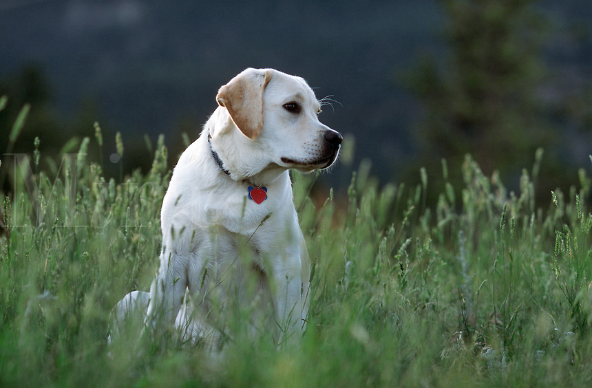 Yellow labrador retriever.
