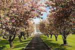 Cherry blossoms along driveway to barn. Near Quakertown, PA.