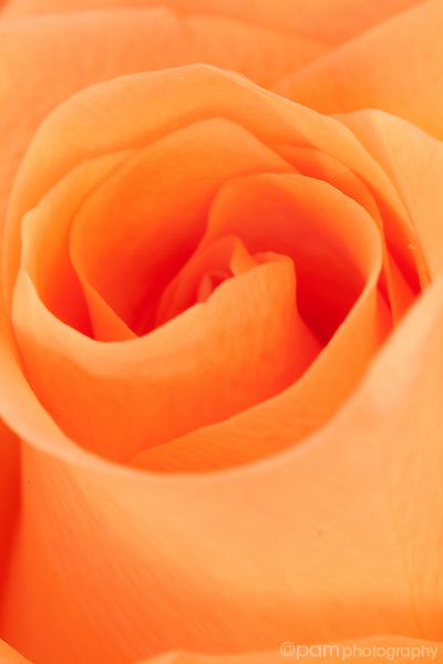 Close-up of orange rose