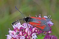 Thymian-Widderchen, Thymianwidderchen, Zygaena purpuralis, transparent burnet, la Zygène pourpre, Zygène du Serpolet
