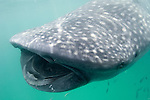 Whale Shark (Rhincodon typus) - showing its many rows of tiny teeth. Feeding in the plankton rich waters around Holbox Island, Mexico.