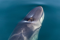 fin whale, Balaenoptera physalus, spouting, Baja California, Mexico, Gulf of California, aka Sea of Cortez, Pacific Ocean