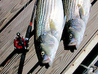 Stripe Bass fishing, Lake Cumberland,Kentucky.