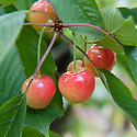 Cherry 'Late Amber', mid July. A pale yellow-red sweet cherry.