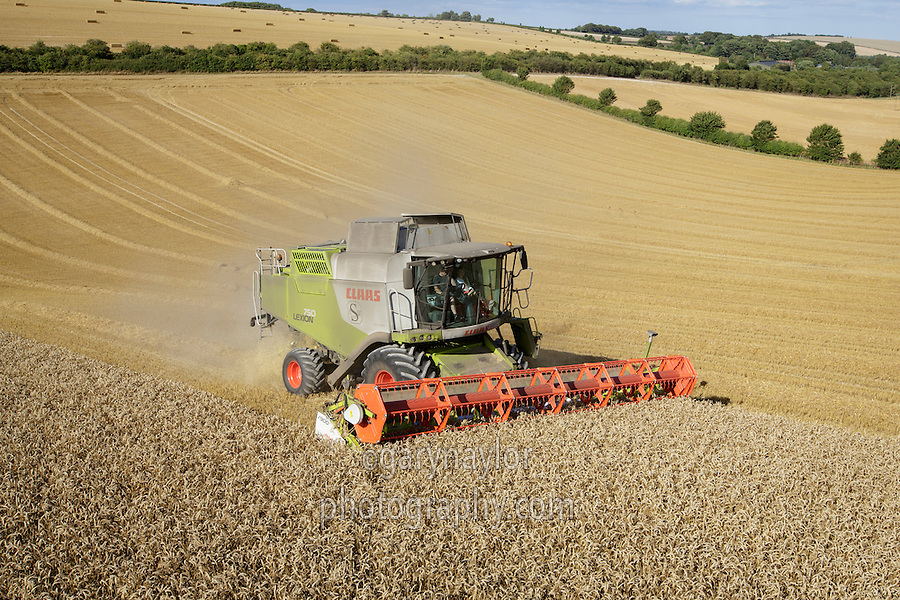 Class Lexion hillside combine harvesting winter wheat - September, Lincolnshire Wolds