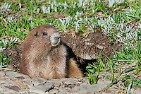 Olympic Marmot (Marmota olympus) coming out of den in alpine area of Olympic Mountains, Olympic National Park, Washington.  Summer.