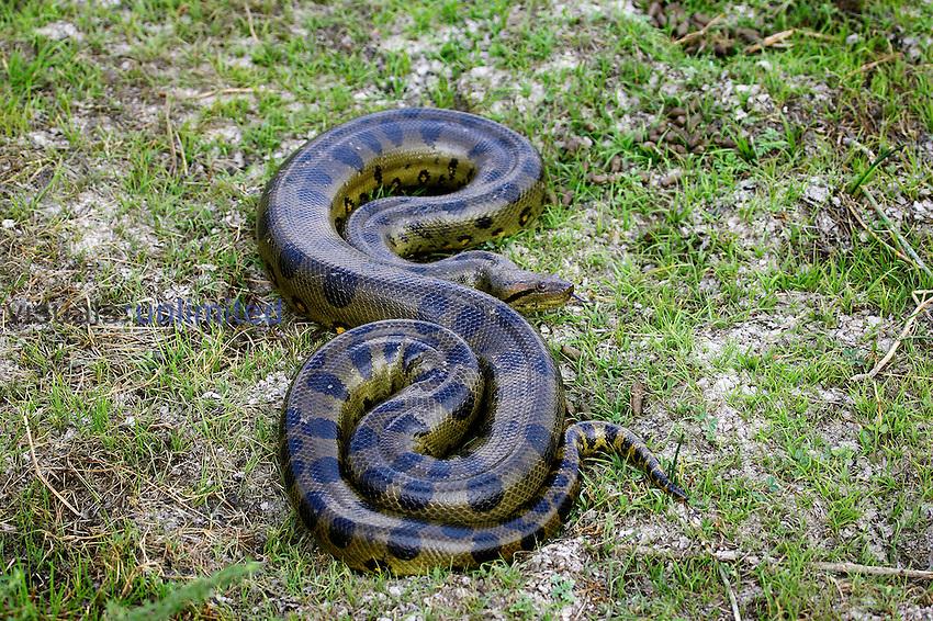 Green Anaconda (Eunectes murinus), Venezuela.