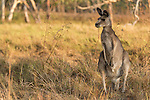 Undara Volcanic National Park, Queensland, Australia; a lone male adult Eastern Grey Kangaroo (Macorpus giganteus) feeding on grasses in the early morning light