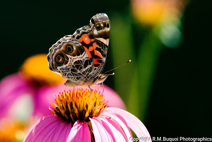 American Painted Lady Butterfly on Purple Cone Flower