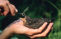 Amsel, verwaister Jungvogel wird in menschlicher Obhut aufgezogen und gefüttert, Schwarzdrossel, Schwarz-Drossel, Drossel, Turdus merula, blackbird