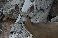 Mule Deer dow  seen in southern Utah's, Dixie National Forest.