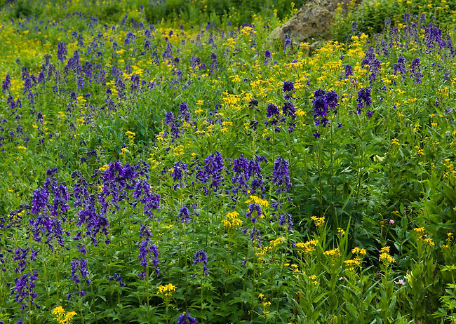Abundant wildflowers , including monkshood and Western yellow paintbrush, blanket high valley along East Inlet: summer afternoon in Rocky Mtn NP, Colorado Rocky Mountains.