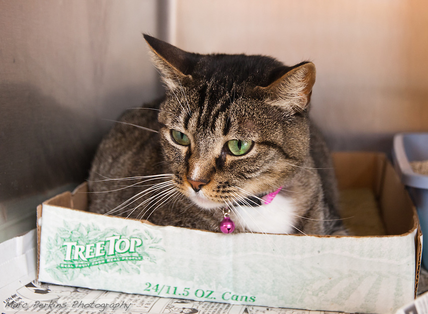 Millicent, a brown female domestic shorthair cat.  6919.