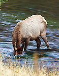 Elk feeding on moss on the bottom of a creek in western Montana