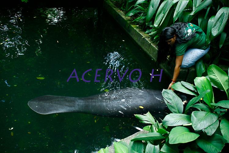 """(Trichechus inunguis)<br /> <br /> O peixe-boi da Amazônia é o menor dos peixes-bois existentes no mundo, alcançando um comprimento de 2,8 a 3,0 m e pesando até 450 kg. Seu couro cinza escuro é extremante grosso e resistente. A maioria dos indivíduos tem uma mancha branca na região ventral. Esta característica, juntamente com a ausência de unhas nas nadadeiras peitorais, ajuda a distingui-lo do peixe-boi marinho e do africano. O peixe-boi da Amazônia é, também, o único que ocorre exclusivamente em água doce, podendo ser encontrado em todos os rios da bacia Amazônica. Alimentam-se essencialmente de plantas aquáticas e semi-aquáticas, e chegam a consumir mais de 10% do seu peso corporal em alimento por dia. Seu metabolismo é de apenas 36% daquele previsto para um mamífero placentário do mesmo porte. Isto o permite permanecer mais de 20 minutos em baixo da água, sem respirar. Cada fêmea de peixe-boi produz apenas um filhote a cada gestação e este filhote pode mamar por até dois anos. No passado, os peixes-bois foram muito caçados pela sua carne e couro. Hoje a caça, embora ilegal, é ainda feita principalmente pelas populações ribeirinhas, para o consumo da carne. Além da caça, as principais ameaças ao peixe-boi são a destruição e a degradação do habitat, a liberação de mercúrio nos rios e agrotóxicos. Ocasionalmente filhotes são acidentalmente capturados em redes de pesca. Represas hidrelétricas atuam como barreiras e isolam populações, limitando a variabilidade genética da espécie. O peixe-boi da Amazônia está classificado como espécie """"vulnerável"""" pela UICN (2000).<br /> <br /> Belém, Pará, Brasil.<br /> Foto Carlos Borges"""