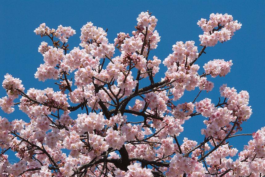 Kanzakura cherry flowering in late winter in Japan.