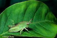 OR03-038b  Grasshopper - camouflaged nymph - green striped grasshopper - Chortophaga viridifasciata