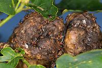Schwammapfel, Schwamm-Apfel, Gallapfel, Kartoffelgalle, Kartoffel-Galle, Eichenschwamm-Gallwespe, Schwammgallwespe, Eichenschwamm - Gallwespe, Gall-Wespe, Schwamm-Gallwespe, Biorhiza pallida, Biorrhiza pallida, Galle an Eichen-Zweig, Gallen, Eiche, Quercus, oak-apple gall wasp, oak apple
