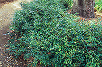Sarcococca hookerana humilis, Low hedge of (Sweet Box) along dirt path in shade of Live Oak