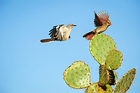 Northern Mockingbird, Mimus polyglottos, adult, and northern cardinal, Cardinalis cardinalis landing on Texas prickly pear cactus, Opuntia lindheimeri, Dinero, Lake Corpus Christi, Texas, USA, North America