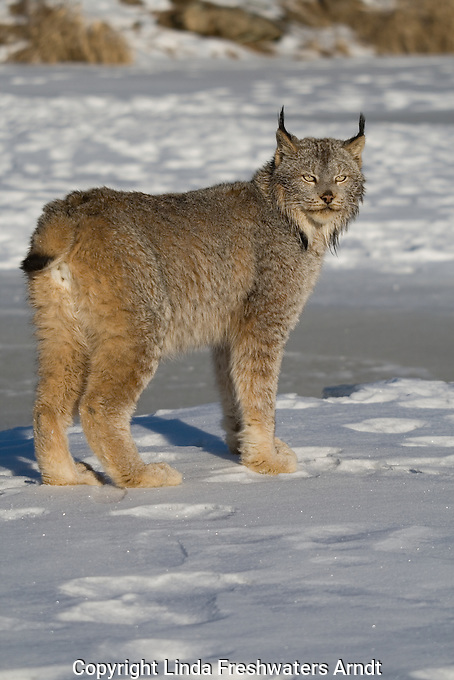 Canada lynx (Lynx canadensis) walking on the snow-covered ice