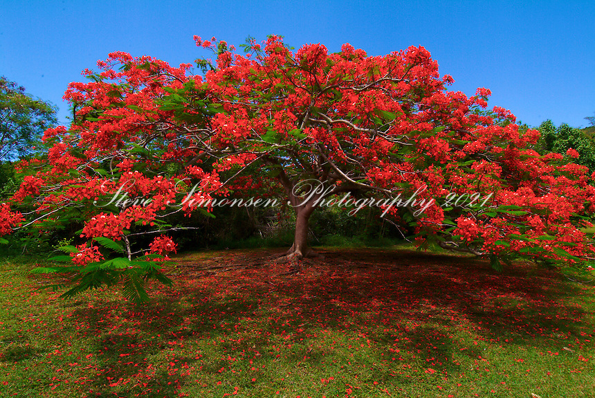 Flamboyant Tree<br /> Caneel Bay Resort<br /> St. John<br /> Virgin Islands National Park