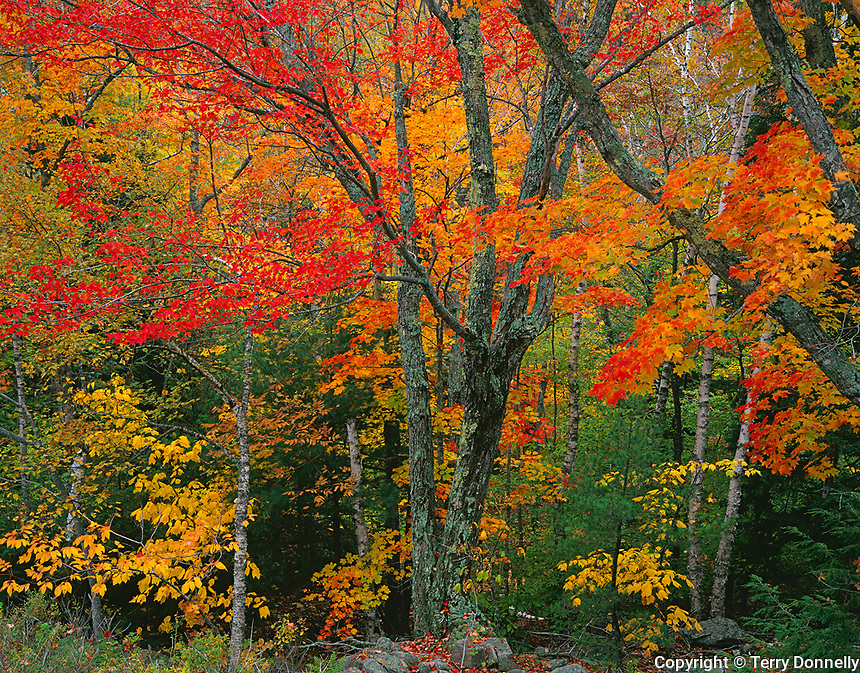 Acadia National Park, ME<br /> Fall colored sugar maples (Acer sacchrum) and yellow birch (Betula alleghaniensis) in mixed hardwood forest.