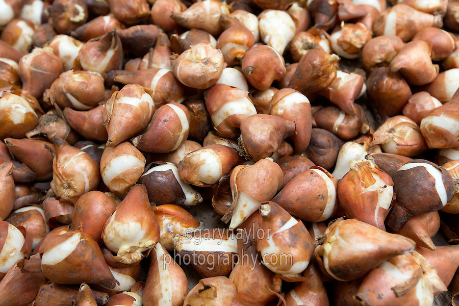 Tulip bulbs ready for forcing - Lincolnshire, February
