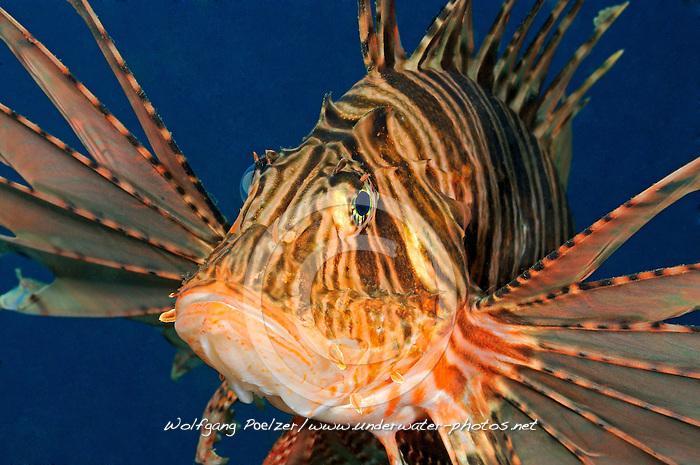 Pterois volitans, Gewoehnlicher Rotfeuerfisch, red firefish, Red Turkeyfish, Secret Bay, Gilimanuk, Bali, Indonesien, Indopazifik, Indonesia, Asien, Indo-Pacific Ocean, Asia