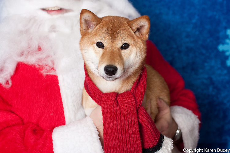 Kai, a shiba Inu poses for a holiday photo with his parents and Santa at Pet Pros in Redmond, WA to help raise money for Dogs Deserve Better on December 11, 2010. (photo by Karen Ducey)