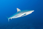Gardens of the Queen, Cuba; a Caribbean Reef Shark swimming in the blue water above the coral reef