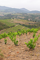 Vines. Domaine Matassa, Calces, Roussillon, France