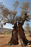 T-059 Olive tree in Yanun