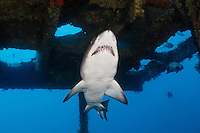 TP0350-D. Sand Tiger Shark (Carcharias taurus) swimming inside the shipwreck of the Aeolus. This fearsome looking species is actually quite harmless towards people unless seriously provoked. However, its reproduction is more bloody. It is embryophagous. Baby sharks, after having developed inside eggs in the uterus, hatch and cannibalize their siblings for nourishment. The two strongest pups survive and are born live at about 3 feet long as miniature near replicas of the adult, ready to live life on their own. North Carolina, USA, Atlantic Ocean.<br /> Photo Copyright &copy; Brandon Cole. All rights reserved worldwide.  www.brandoncole.com