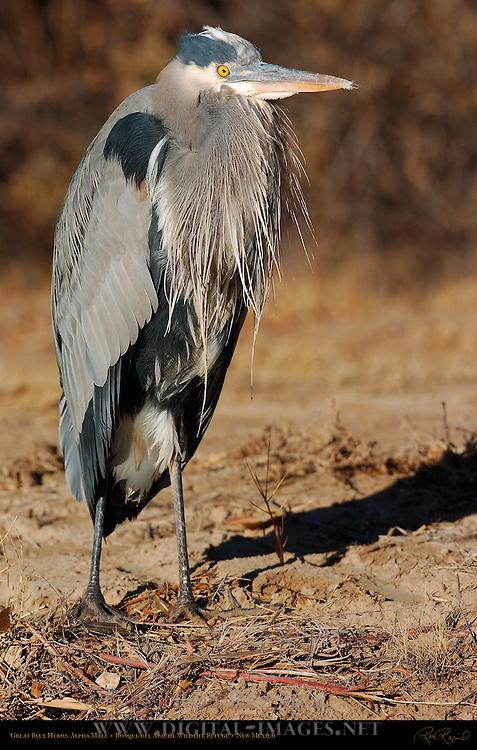 Great Blue Heron Alpha Male, Bosque del Apache Wildlife Refuge, New Mexico
