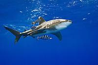Oceanic Whitetip Shark, Carcharhinus longimanus, swimming in strong down current at the FAD buoy (Fish Aggregation Device), accompanied by Pilotfish, Naucrates ductor, and juvenile Amberjacks, Seriola dumerili, off Kona, Big Island, Hawaii, Pacific Ocean