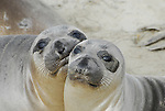 Northern elephant seal weaners