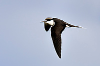 Sooty Tern in flight