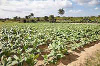 Cuba, Pinar del Rio Region, Viñales (Vinales) Area.  Tobacco Field, Montecinos Tobacco Farm.