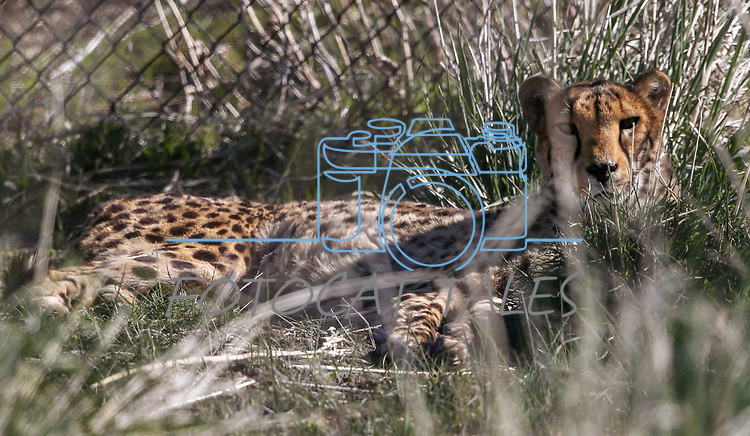 Cheetahs lay in the sun at Animal Ark Wildlife Sanctuary, north of Reno, Nev., on Monday, May 1, 2017. <br /> Photo by Cathleen Allison/Nevada Photo Source