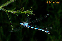"0826-06rr  Damselfly ""Hagen's Bluet"" - Enallagma hageni - © David Kuhn/Dwight Kuhn Photography"