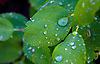 A MORNING RAIN PRODUCES RAINDROPS ON LEAVES IN A FOREST IN YELLOWSTONE NATIONAL PARK,WYOMING
