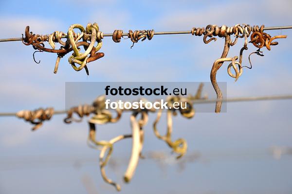 verbliebene, getrocknete bzw. verholzte Weinrebenranken am Draht im Weinberg